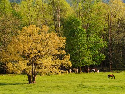 Horses Grazing in Meadow at Cades Cove, Great Smoky Mountains National Park, Tennessee, USA - what a beautiful sight!