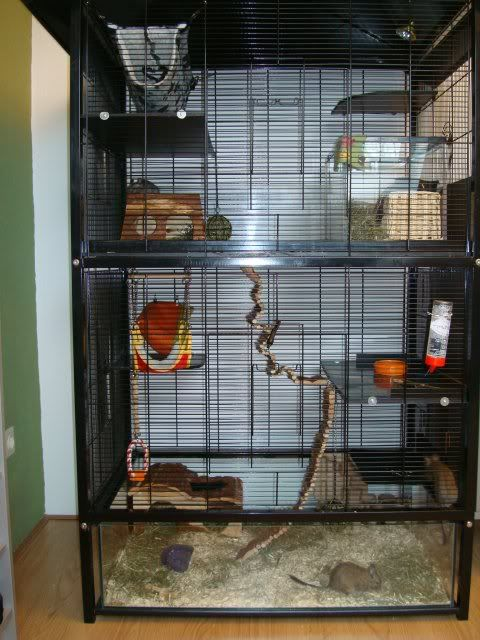 Butter's degu blog | Degu and Chinchilla World