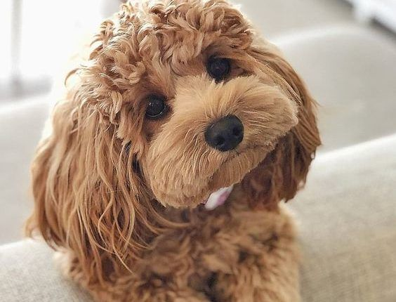 There Are Poodle Mixes Of Different Colors Sizes And The