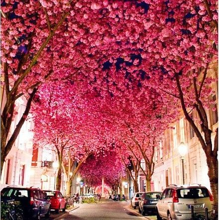 #ridecolorfully: Bucket List, Bonn Germany, Favorite Places Spaces, Beautiful Places, Cherry Blossoms