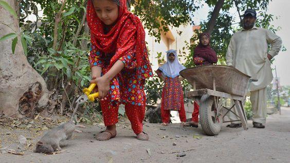 Katzengroße Nagetiere in Pakistan: Peshawar kämpft gegen Rattenplage