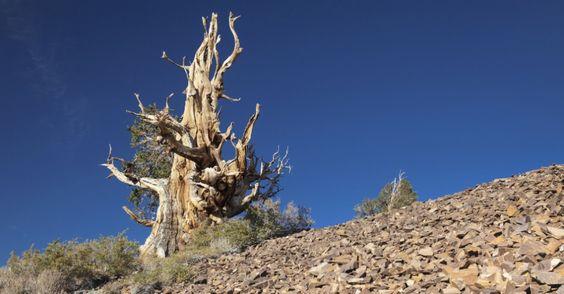 Árvore mais velha do mundo. As árvores mais velhas são os pinheiros bristlecone (Pinus longaeva) nas Motanhas Brancas da Califórnia, USA. O mais antigo entre eles, um pinheiro batizado de Matusalém por Edmund Schulman, da Universidade do Arizona, em 1957. Na época, ele teria já 4.600 anos. Na foto, pode-se ver um dos pinheiros. Alguns pesquisadores já afirmaram ter encontrado árvores mais antigas, mas o recorde continua valendo no Guinness.  Fotografia: Thinkstock.