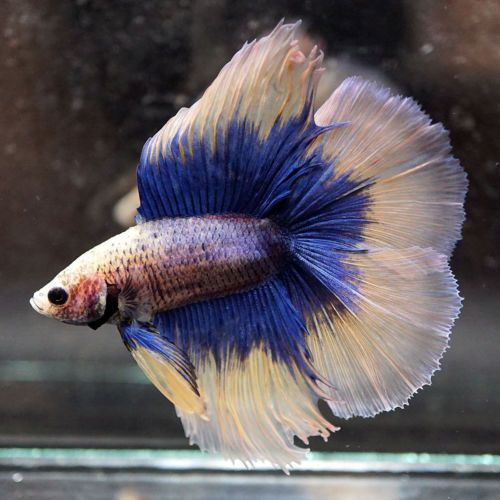 Live Betta Fish Blue Butterfly Yellow Double Tail Full Moon Dt Male 407 Betta Fish Betta Blue Butterfly
