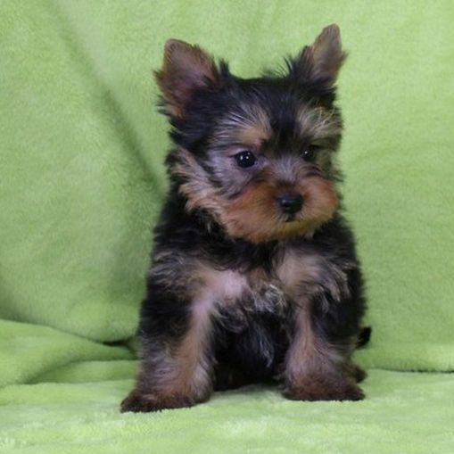 Available Puppies Tea Cup Yorkies Yorkie Puppies Tiny Yorkies Yorkshire Terrier Puppies Teacup Yorkie Puppy Yorkie Puppy Miniature Yorkie Puppies