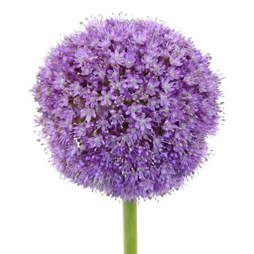 Lavender Globe Allium Flowers Allium Flowers Freesia Flowers Flowers