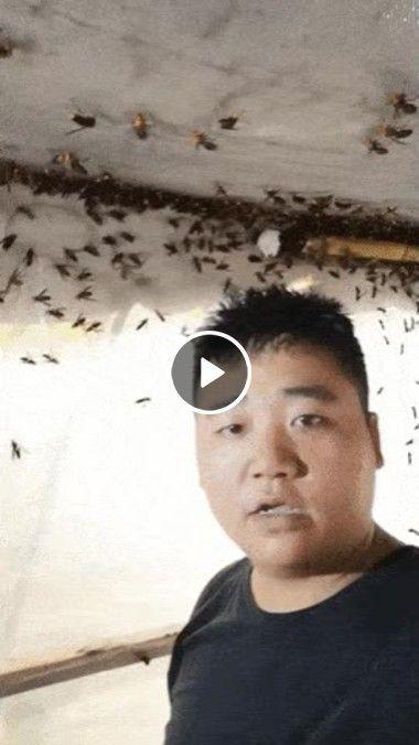 Descoberto o segredo de pegar abelhas sem ser picado, é só procurar as que não tem ferrão kk