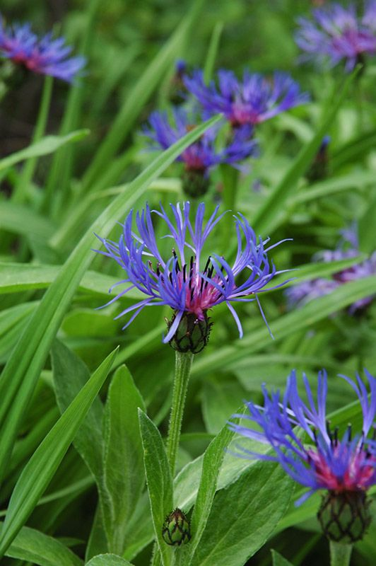 Mountain Bluet/Centaurea Montana - Full Sun: Violet Blue Fringed