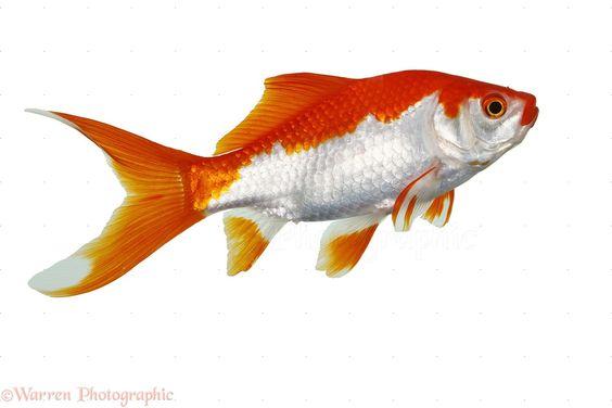 goldfish ile ilgili görsel sonucu