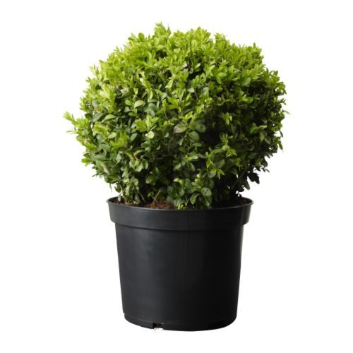 Buxus sempervirens plante en pot ikea terrace items Plantes decoratives exterieur