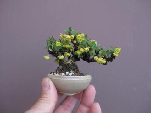 Rose bonsai: