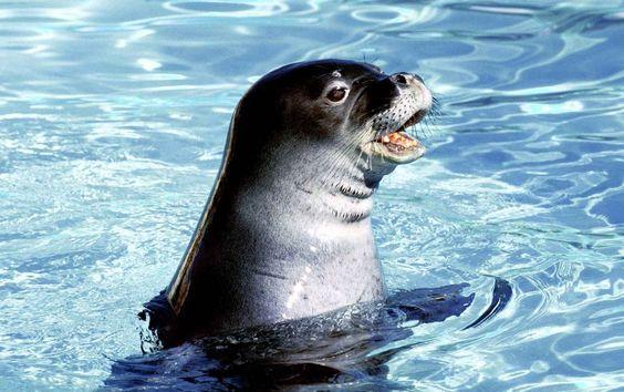 PHOTOS –Seul pinnipède de Méditerranée, il a complètement disparu des côtes françaises. La faute au développement du tourisme et à l'augmentation de la fréquentation des plages, sites de repos et de reproduction. Pourtant, l'animal était présent sur les côtes de Provence jusque dans les années 1930 et en Corse jusqu'en 1976. Photo : SIPA – metronews