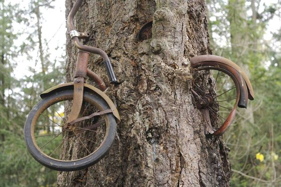 As the story goes A boy left his bike chained to a tree when he went away to war in 1914. He never returned, leaving the tree no choice but to grow around the bike. Incredible that this bike has been there for 98 years now!