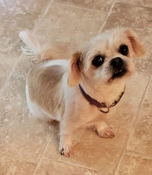 Shih Tzu Dog For Adoption In Springfield Ohio Dolly West In