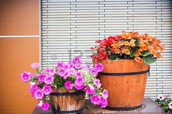 Flor de la petunia en la decoraci�n de bote de madera en la pared photo
