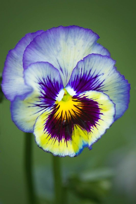 Another Pansy In 2020 Pansies Flowers Pansies Flower Pictures