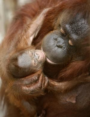 Female orangutan and her baby. // I LOVE ORANGUTANS!!