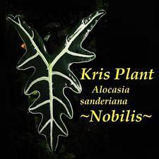 ~Nobilis~ Kris Plant Alocasia sanderiana Spectacular Aroid Live Big Potted Plant