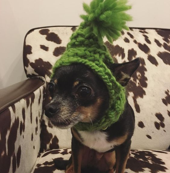 $17 | Shop link in profile! #chihuahua #chihuahuasofinstagram #doghat #knithat #knitting #knit #etsy #etsyseller #handmade #link #puppy #puppyhat #cowhide #cowprint #green #wool #woolyarn #shopsmall by theglim #lacyandpaws