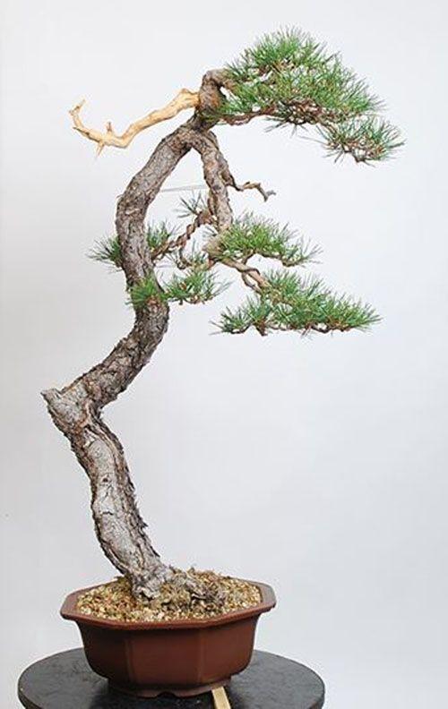 david benavente bonsai bonsai pinterest bonsai and david. Black Bedroom Furniture Sets. Home Design Ideas