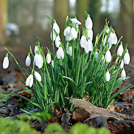 25x Sneeuwklokje Wit Kopen Bakker Com In 2020 White Flower Pot Bulb Flowers Plant Flower Bulbs