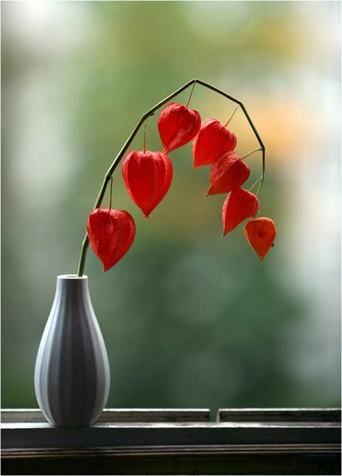 Physalis, Chinese Lantern Flowers