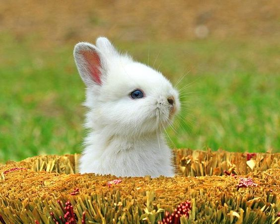 A young white rabbit peeping its head out of a hole.: