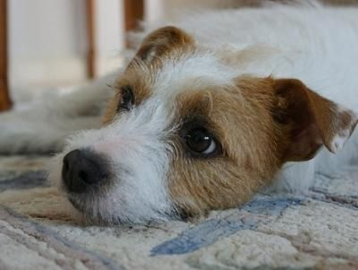 Parson Russell Terrier Dogs| Parson Russell Terrier Dog Breed Info & Pictures | petMD: