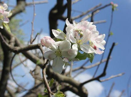 #Apfel #Baum #Bäume #Blüte #Mai