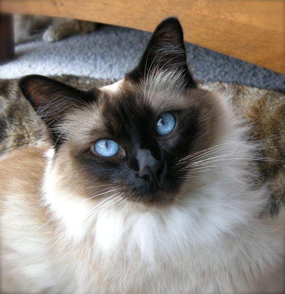JasperCat blue eyes...