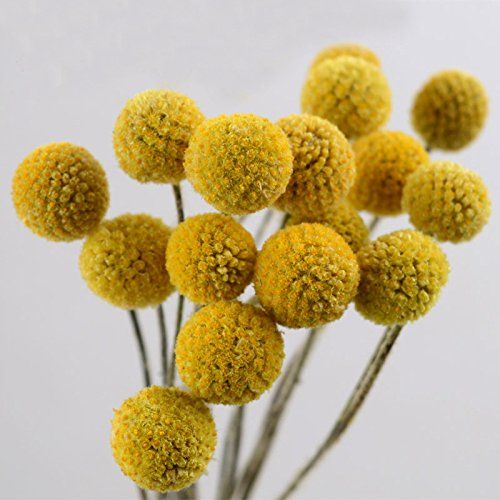Tyoungg Dried Craspedia Yellow Billy Balls Dried Flowers For Wedding Bouquet Decor Christmas Wrea Dried Flowers Wedding Dried Flowers Wedding Party Photography
