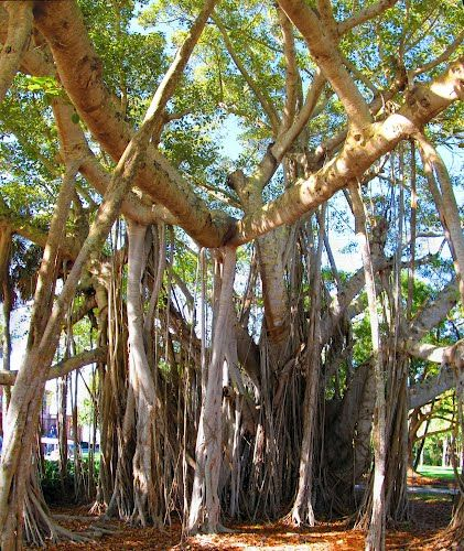 Banyan trees grow in India and are found in Florida as well.  The first banyan tree planted in Florida was planted by Thomas Edison at his winter estate in Fort Myers, FL in 1925.  That tree is now considered to be the third largest in the world and now encompasses about an acre of land.