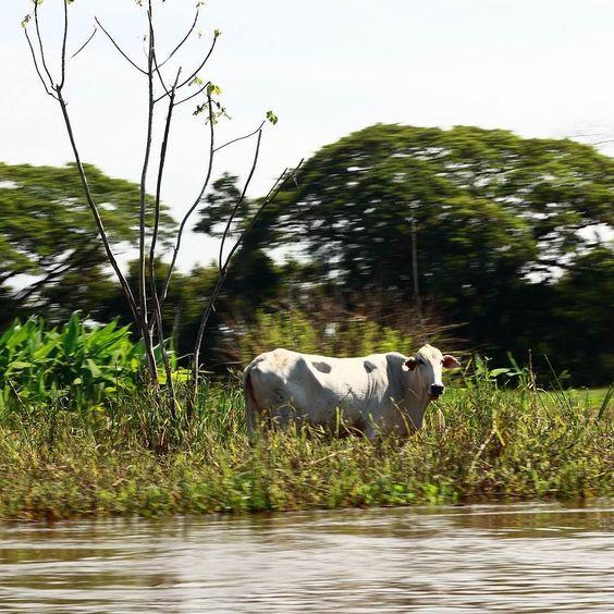 Una vaca se refugia en terreno elevado