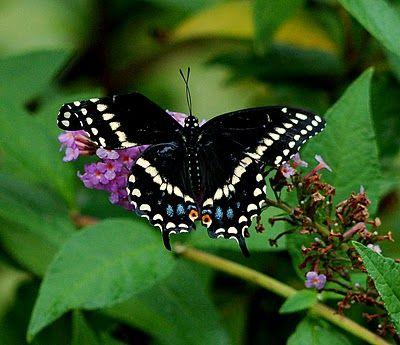 Qs butterflies