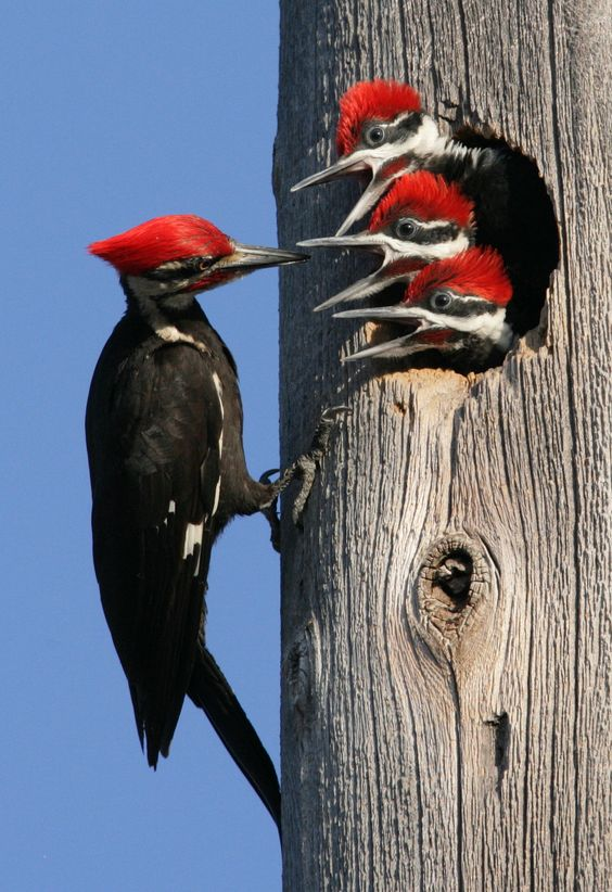 Pileated Woodpecker by Hal and Kirsten Snyder via © National Wildlife Federation via blog.nwf.org. The Pileated Woodpecker is one of the biggest, most striking forest birds on the continent. They dig characteristically rectangular holes in trees to find ants. These excavations can be so broad and deep that they can cause small trees to break in half.