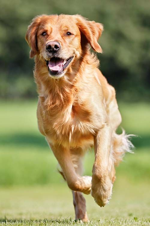 Golden Retriever Dog Breed Information Dogs Golden Retriever