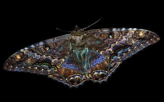 Lanai Moth (Black Witch Moth) - Kaneohe Hawaii   Flickr - Photo Sharing!