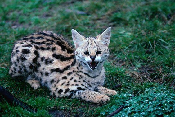 Serval Kitten   (this lil' fella is from Lake Nakuru National Park in Kenya)