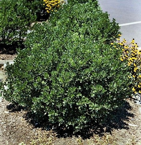 Compact Inkberry Holly Black Berries To Replace The 640 x 480