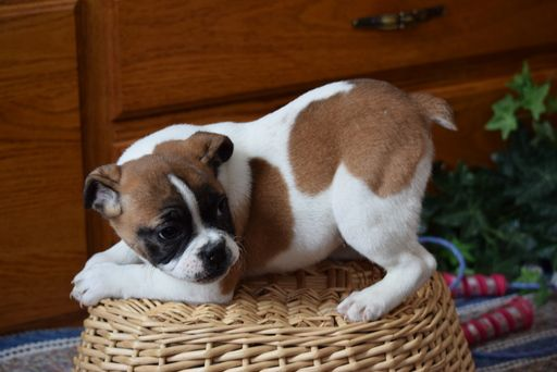 Beabull English Bulldog Mix Puppy For Sale In Fredericksburg Oh