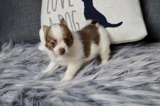 Chihuahua Puppy For Sale In Warsaw In Adn 70409 On Puppyfinder