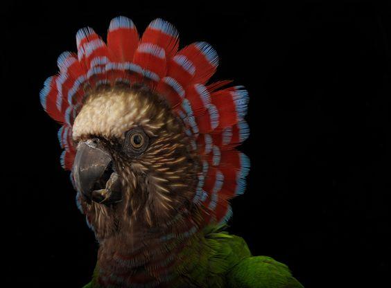 Hawk Headed Parrot Deroptyus Accipitrinus At The Houston Zoo Endangered Animals Animals Beautiful Houston Zoo
