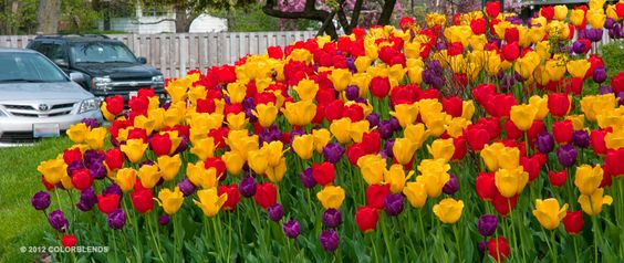 Tulip Purdy ™ | Colorblends of Tulips Bulbs for Sale | COLORBLENDS