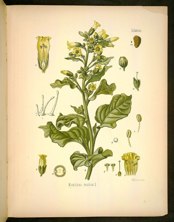 Image of Illustration of NICOTIANA rustica L. 32