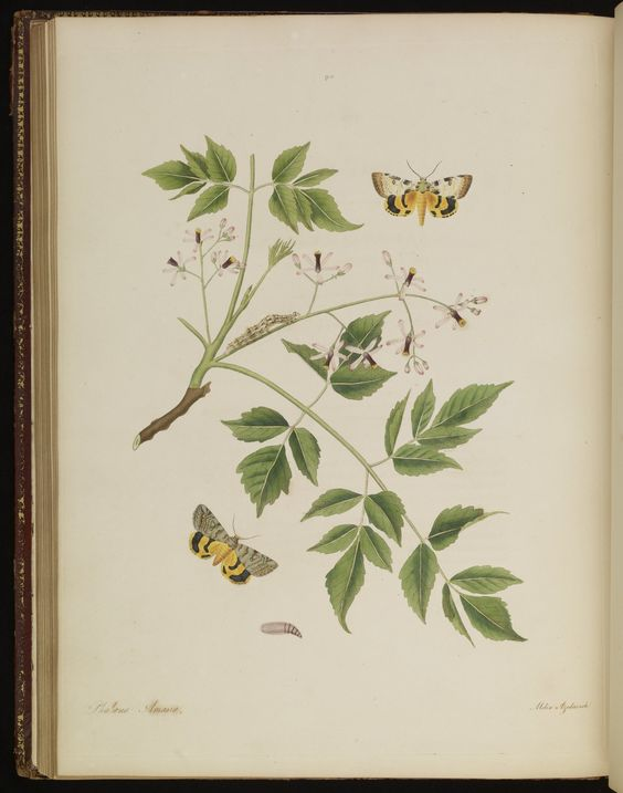 Plate 90 from The natural history of the rarer lepidopterous insects of Georgia. Including their systematic characters, the particulars of their several metamorphoses, and the plants on which they feed. Collected from the observation of Mr. John Abbot, many years resid · Smith, James Edward, 1759-1828 · 1797 · Albert and Shirley Small Special Collections Library, University of Virginia.
