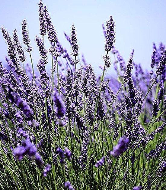 Gartenkrauter Lavendel Lila Bluten Herrlicher Frischer Duft Im Garten Lavender Plant Flower Hedge House Plants
