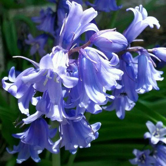 Sunlight on a crop of bluebells