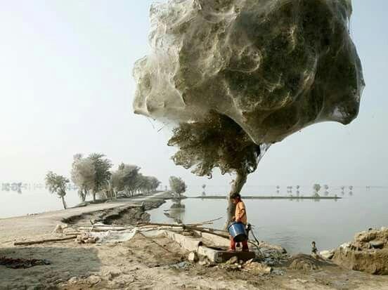 Um efeito colateral inesperado da inundação, em algumas áreas de Sindh, no Paquistão: milhões de aranhas subiram em árvores para escapar das enchentes. Como a água demorou para recuar, muitas árvores ficaram encapsuladas em teias de aranha. Pessoas na área nunca tinham presenciado este fenômeno antes.