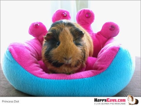 How much will it cost to bring home a new guinea pig friend?