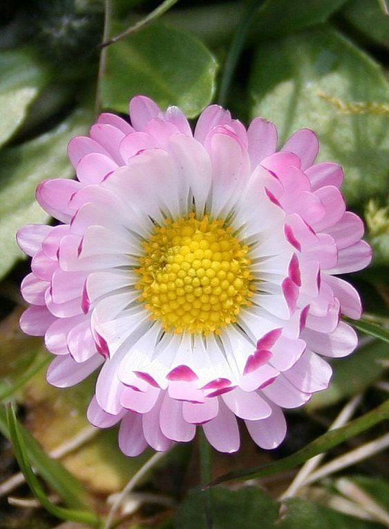 Gänseblümchen, Bellis perennis, heilt Körper und Seele nach Fehlgeburten ... uns ist eine Freude für die Augen :-)