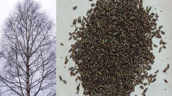 Как за 5 минут собрать 🌳 почки берёзы ❄️ зимой . Winter harvest of birch...